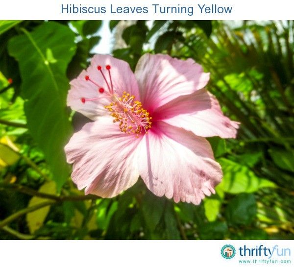 Hibiscus Leaves Turning Yellow With Images Hibiscus Plant Hibiscus Leaves Growing Hibiscus