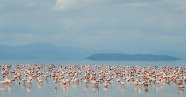 Home to flamingos, hippo pools, hot springs and tree climbing lions, #LakeManyara is a scenic safari stop!  https://www.safari365.com/travel-destinations/tanzania/lake-manyara/a-day-at-lake-manyara?utm_content=buffer9d6f2&utm_medium=social&utm_source=pinterest.com&utm_campaign=buffer