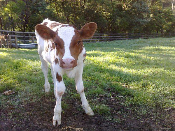 """New calf """"Saturday"""" at the Collingwood Children's Farm, Melbourne"""