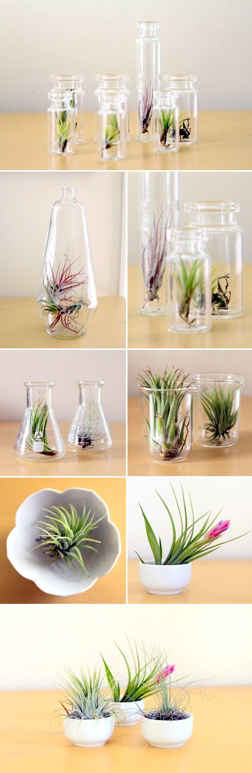 I have fallen in love with the little botanical delights called Air Plants