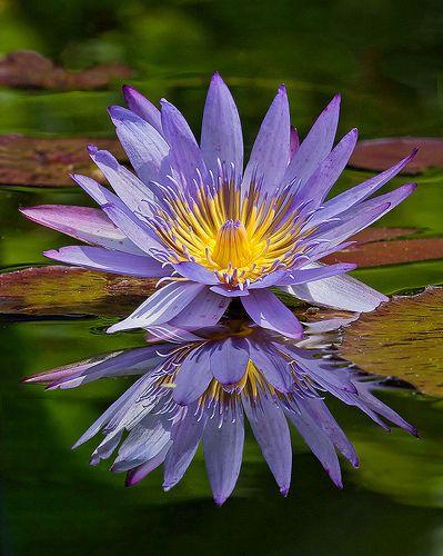Water Lily in the garden. Fairchild Tropical Botanic Garden.