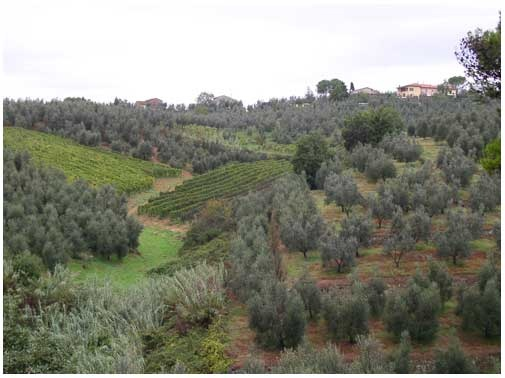 Vinci, Italy. Across from the home and museum of Leonardo da Vinci. Olive trees.