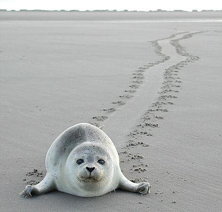 Nordsee, Schleswig-Holstein, Deutschland Seehunde beobachten, z.B. von Baltrum aus ... #vamosreisen