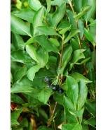 Black Chokeberry (Aronia melanocarpa var. elata) - Monrovia - Black Chokeberry (Aronia melanocarpa var. elata)