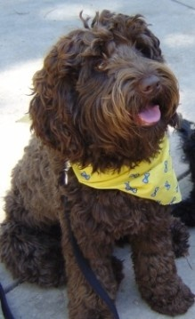 Darby Park Labradoodles- where I got my doodles from!