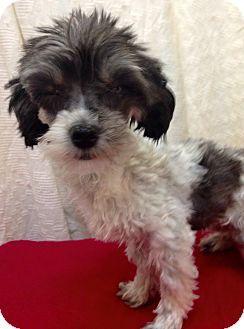 Media, PA - Havanese Mix. Meet Princess, a dog for adoption. http://www.adoptapet.com/pet/13731172-media-pennsylvania-havanese-mix