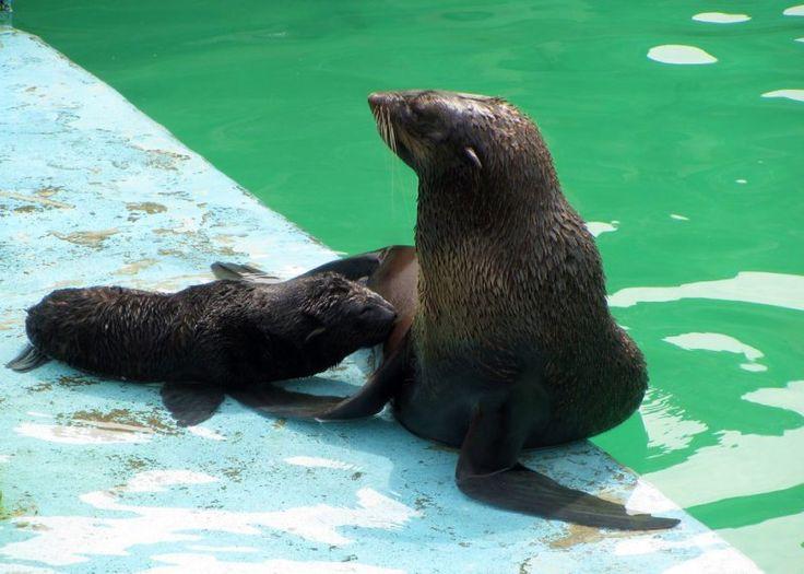 В зоопарке Ижевска появились на свет щенки северных морских котиков.