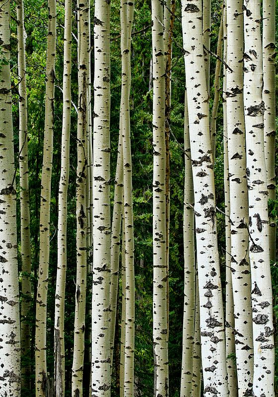 "Paul Enns (PJE) ""..these birch trees were found along the Yellowhead highway in Alberta. What I love about this photo is the green background which seems to add a depth dimension."""