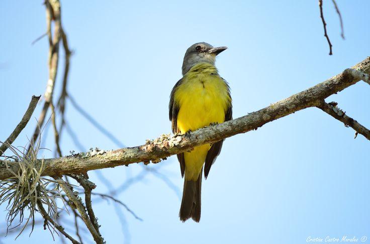 Tropical Kingbird (Tyrannus melancholicus) by Cristian Castro Morales on 500px