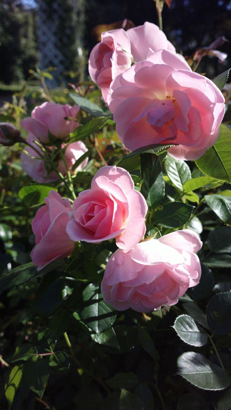 496 best images about english rose scented garden on. Black Bedroom Furniture Sets. Home Design Ideas