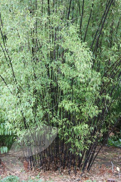 Buy black bamboo Phyllostachys nigra: Delivery by Crocus.co.uk
