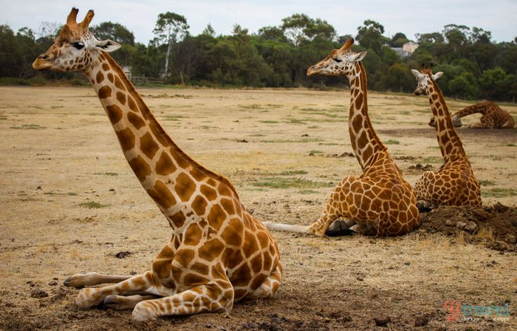 Werribee Open Range Zoo | Situated on 200 sprawling hectares - offering a true safari experience!