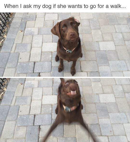 *ears go up* * charges to the door* *runs from me to the door till I take her for a walk* * doesn't forget what I said* *crys till I take her for the walk *