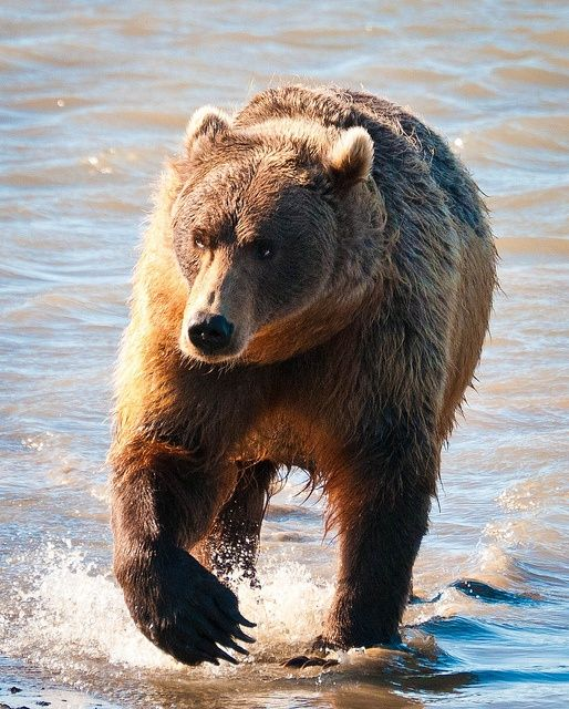 Check out the claws on the Alaskan Brown Bear in Katmai National Park, Alaska