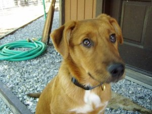 JAZZY is an adoptable Golden Retriever Dog in Sonora, CA. Jazzy has just gone into fostercare. She looks like a Golden Ret. mix. .Fostermom says she's settling in very well and seems to really enjoy b...