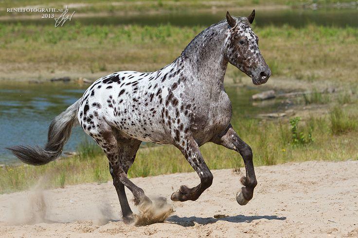 appaloosa horse running in the sand