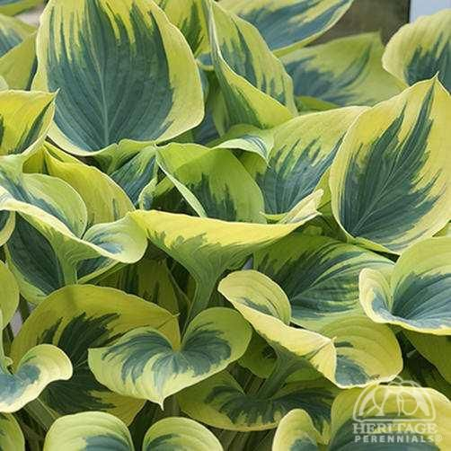 Hosta 'Majesty'