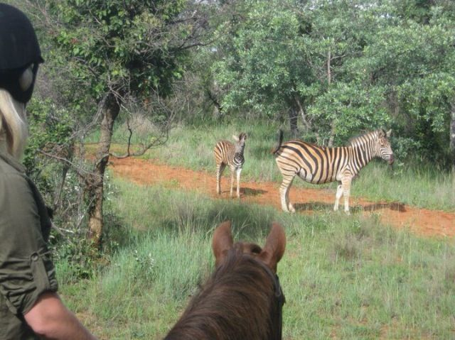 Zebra on a ride