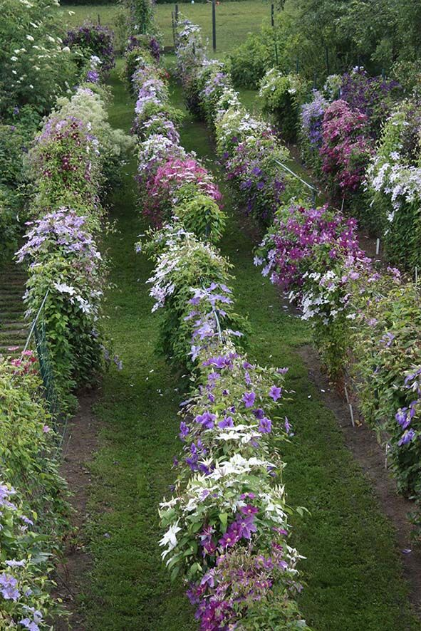 Clematis Galery From Roogoja Farm Trees To Plant