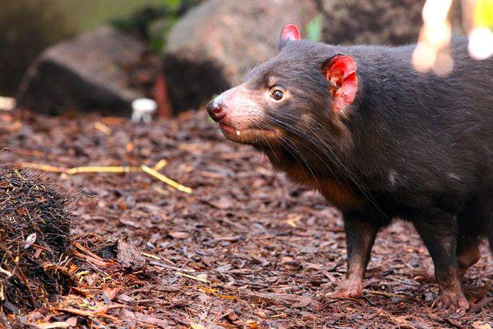 Tasmanian Devil Smelling for Scents - Adelaide  http://www.genders.com.au/