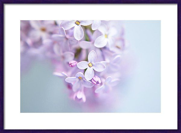Lilac Petals Framed Print featuring the photograph Lilac Petals by Marfffa Art