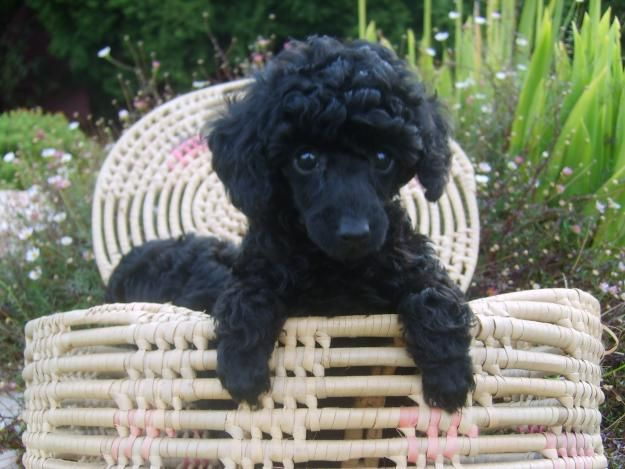 french poodles - Google Search