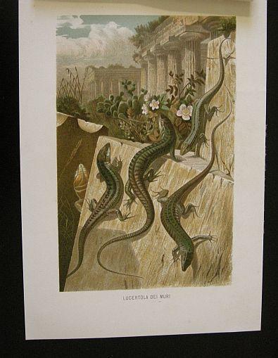 Lucertola dei muri. s.d. (ma 1900 ca.). Storia natule - Etologia - Animali -  Rettili -  Stampa - Scienza -  -