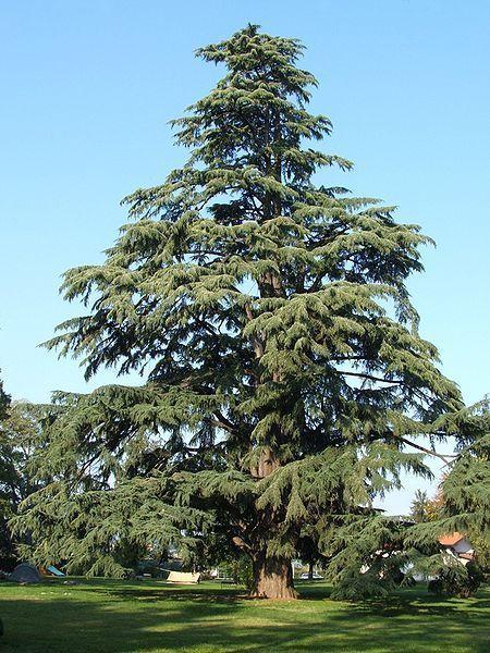 Deodar Cedar, (Himalayan Cedar), Cedrus deodara, Tree Seeds (Fragrant Evergreen)