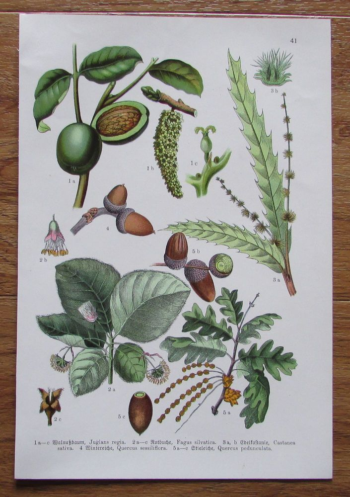 Botanischer Druck - Pflanzen Botanik Druck Atlas des Pflanzenreichs ca. 1920 41