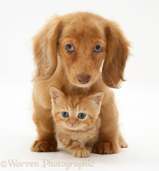 Pets: Cream Dapple Miniature Long-haired Dachshund pup with British Shorthair red tabby kitten.