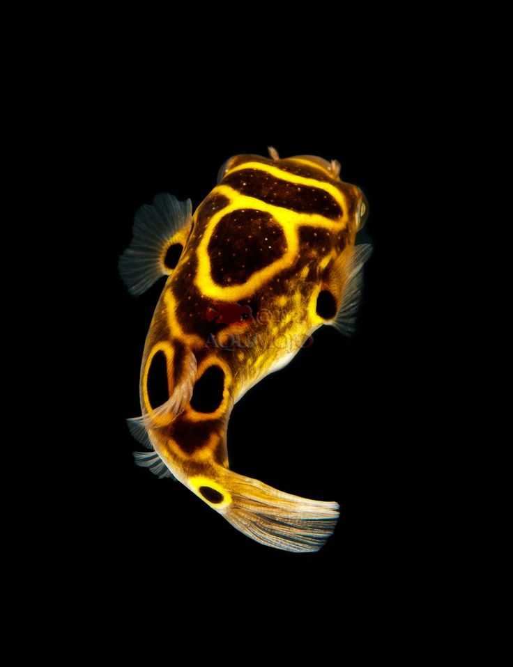 Figure Eight Puffer: Figure, Pufferfish, Freshwater Fish, Animal