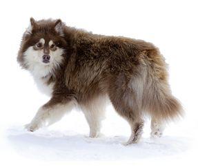 Finnish Lapphund - Suomenlapinkoira   RoyalCanin