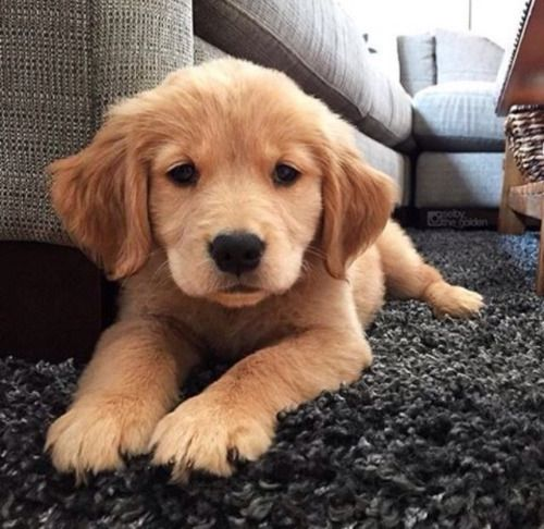 25 best golden puppy ideas on pinterest golden retriever puppies cute baby dogs and - Best dogs for small spaces pict ...