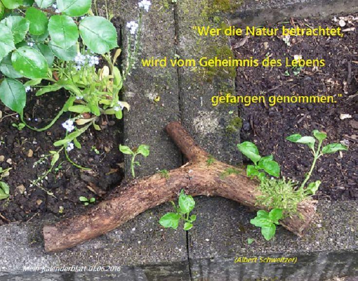 """""""Wer die Natur betrachtet, wird vom Geheimnis des Lebens gefangen genommen."""" (Albert Schweitzer) - in Szene gebracht mit einem Fundstück beim Stapel-Umräumen eines vor über einem Jahr gefällten Fliederbaumes. - In Gedanken für einen vor kurzem verstorbenen lieben Freund - lasst uns darauf hoffen, das die Natur immer Wege findet -_-"""