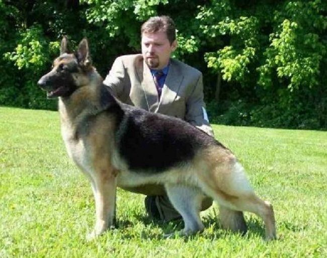 german shepherd puppies for sale in md 17 best puppies for sale images on pinterest cubs 3697