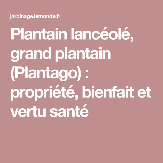 Plantain lancéolé, grand plantain (Plantago) : propriété, bienfait et vertu santé