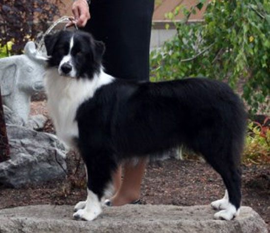 australian shepherd  black bi  if i ever got an aussie
