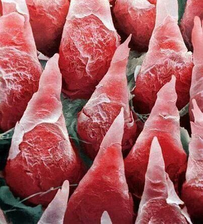 Microscopic image of the human tongue