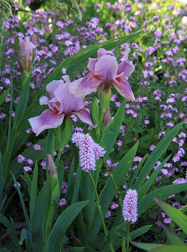 dwarf iris with pink forget-me-not and persicaria. Beautiful combination