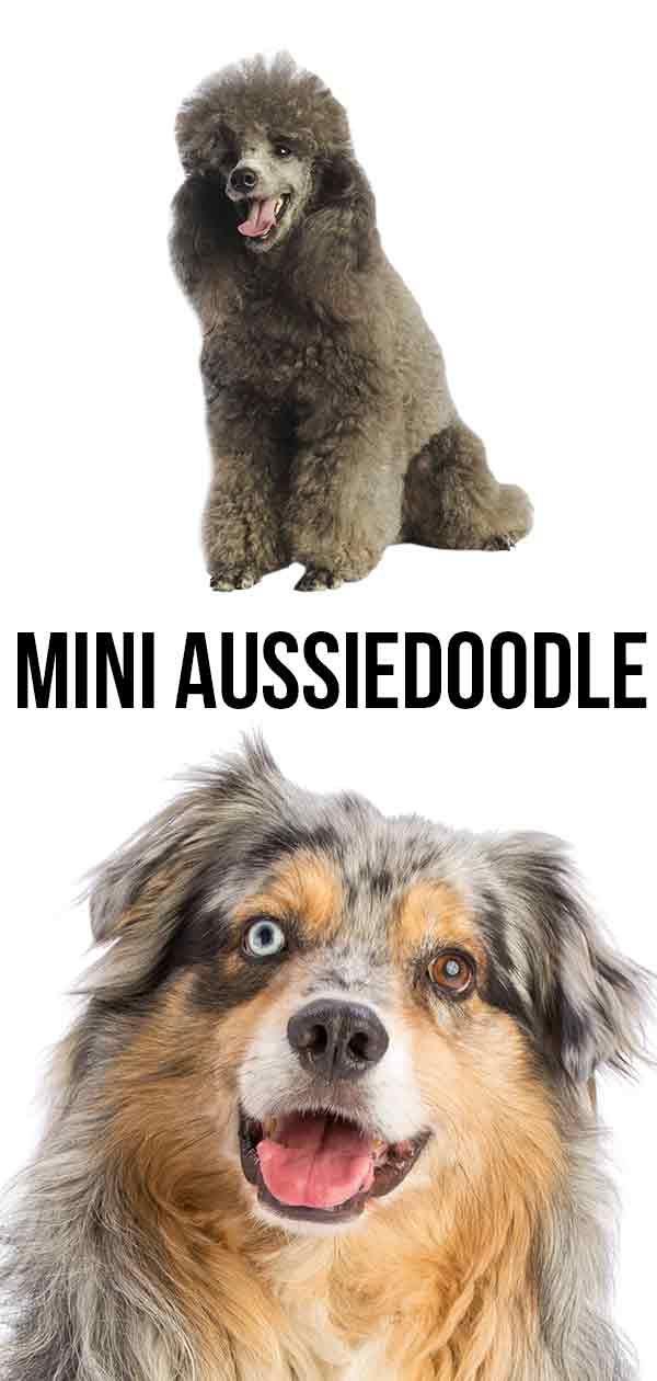 Mini Aussiedoodle The Miniature Poodle Australian Shepherd Mix