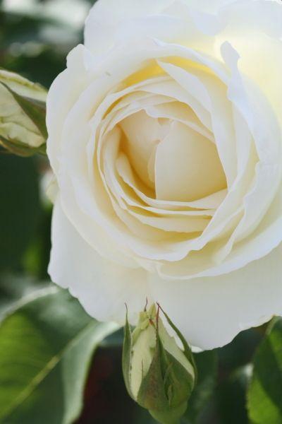 【Rose】正雪 (Rosa'Masayuki') [Class]Hybrid Tea Raised by Keisei Rose, Japan.1992(reg.)