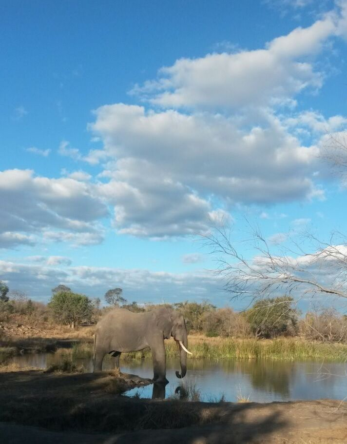 A magnificent elephant enjoys a drink at a waterhole in the late afternoon. PhonePic by Jenna de Gouveia