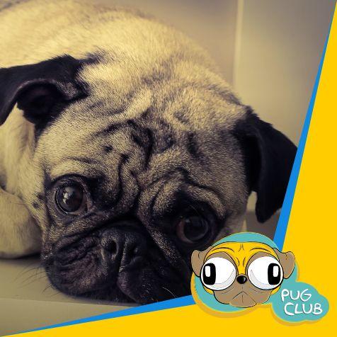 Este olhar diz tudo...muito fofo. #pugclub #puglife #pug #puglove #clubpug #pugclubinternacional #pugs #pugsrequest #pugstuff #pugsrock