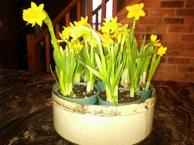 Minature daffodils in an old cookie jar