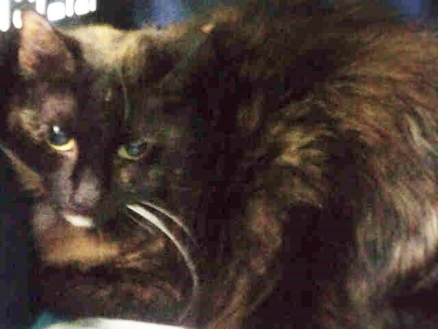 """POOFY - A1091735 - - Brooklyn  ***TO BE DESTROYED 10/16/16*** POOFY IS A 6 YEAR OLD, ALREADY NEUTERED GUY. DUMPED FOR """" PERSONAL REASON'S!"""" Yet even after the folks at the ACC left the former owner a voicemail, asking for information on his behaviour, this owner DID NOT RESPOND NOR did they respond when they DUMPED him! Really nice, huh?? Well, at least POOFY can talk through his own actions, which speak louder than words… and his """"actions&#822"""