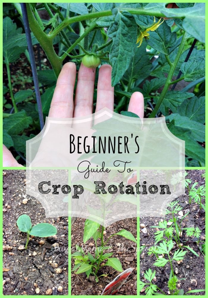 Crop rotation has solved most of my gardening woes! Crop rotation is an organic gardener's best helper. Cuts down on insects, disease, and makes healthier soil.