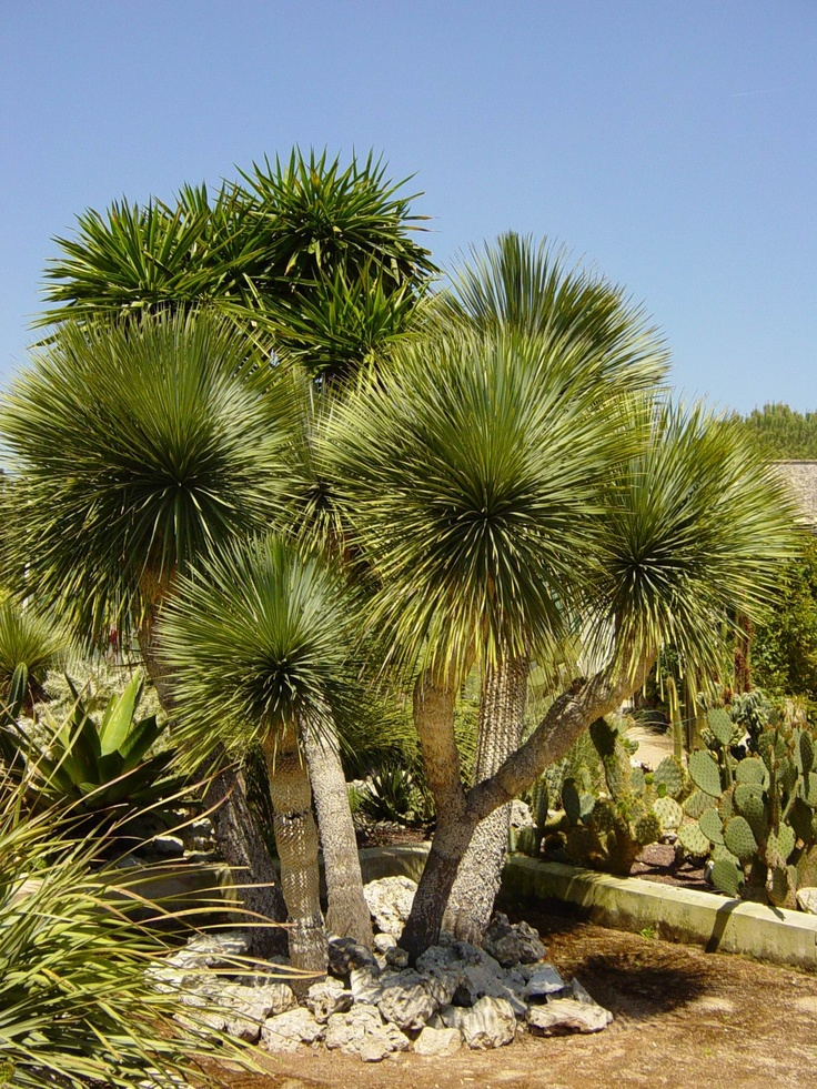the 25 best yucca rostrata ideas on pinterest cacti garden outdoor cactus garden and tall cactus. Black Bedroom Furniture Sets. Home Design Ideas