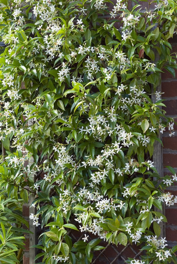 Fast-Climbing Vines for Your Garden --- Star Jasmine (Trachelospermum jasminoides) Zones 8-1010