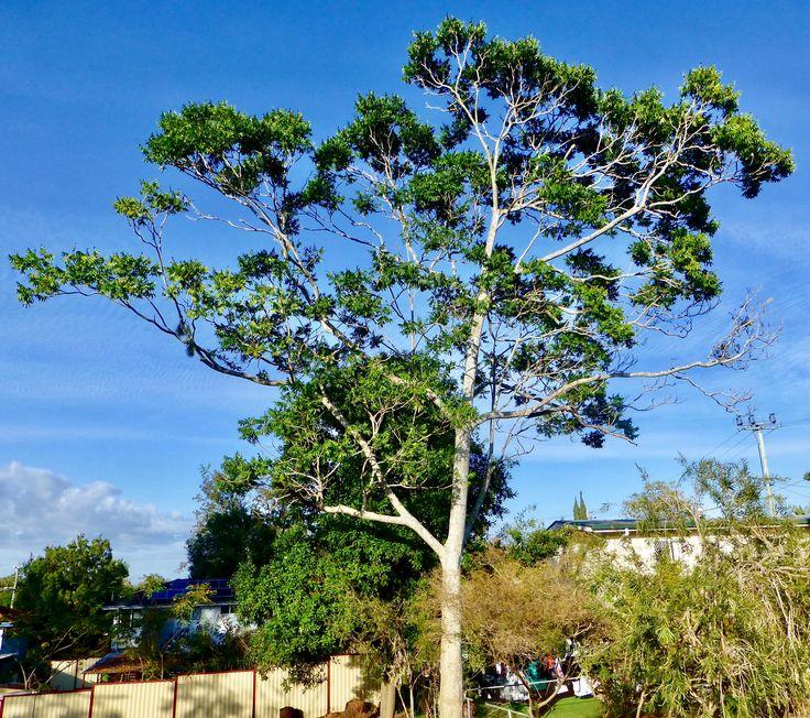 Silver Ash (Flindersia Schottiana)
