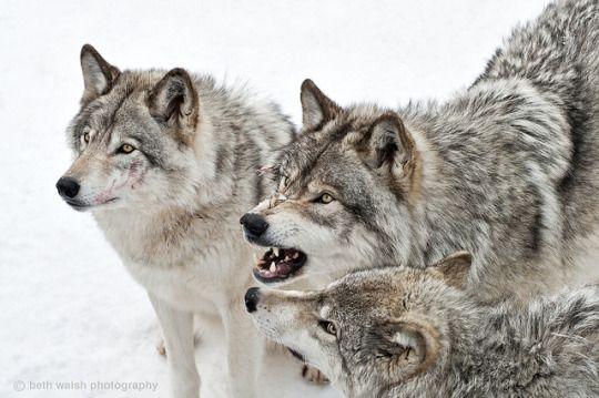 Scarlet Benoit // Wolf